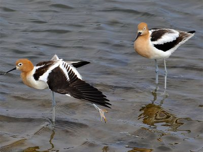 American Avocet Shore Birds