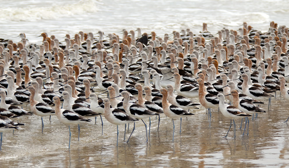 American Avocets on Beach by Amy Nolan