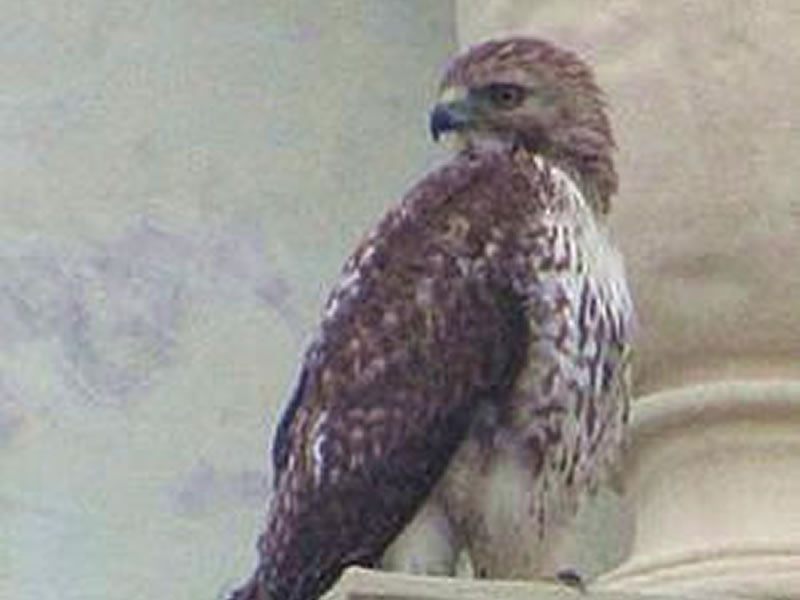 Red-Tailed Hawk In The City