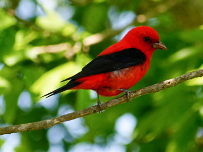 Scarlet Tanager - Photo by Mary Halligan