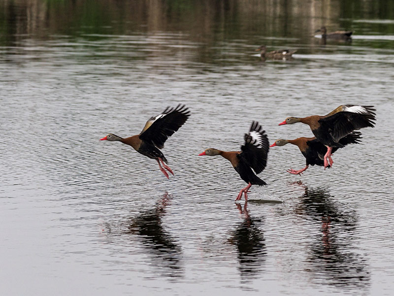 Black-bellied Whistling-Ducks by Jackie Farrell