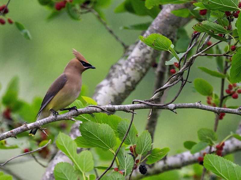 Cedar Waxwing by Jackie Farrrell at Lafitte's Cove Nature Preserve