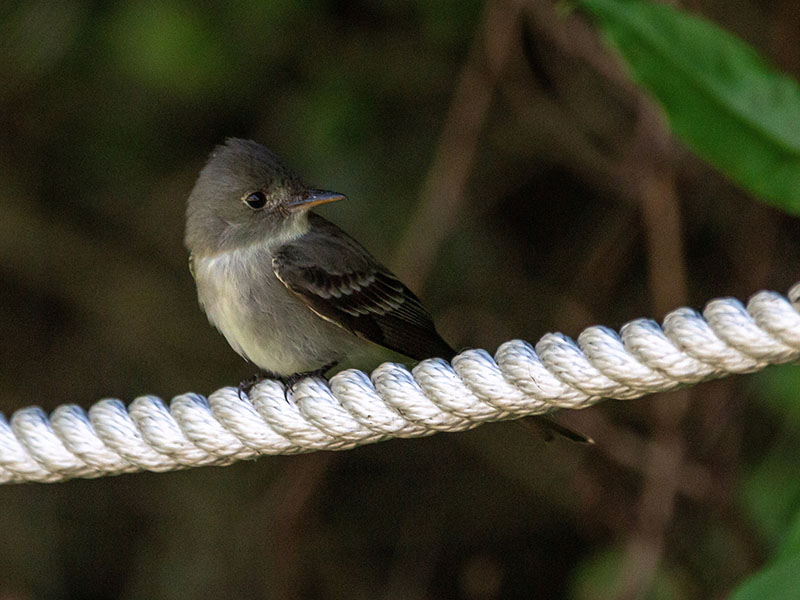 Eastern Wood-Pewee by Jackie Farrell at Lafitte's Cove Nature Preserve