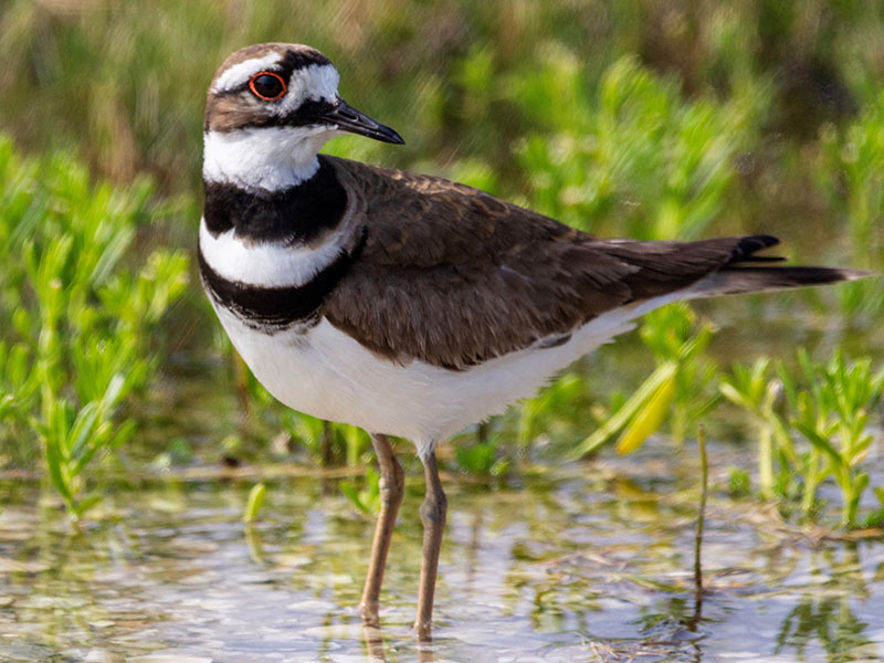 Killdeer by Jackie Farrell at the Galveston Island State Park