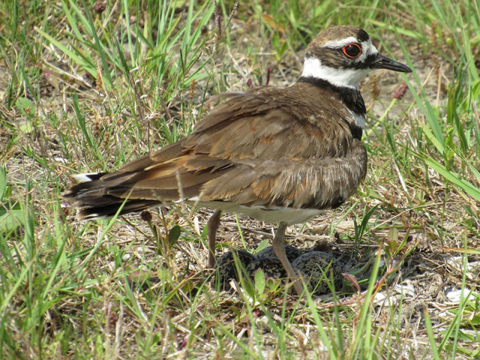 Killdeer Standing Over Eggs Photo by Kristine Rivers