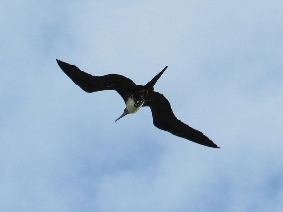 Magnificent Frigatebird Flying Above Galveston