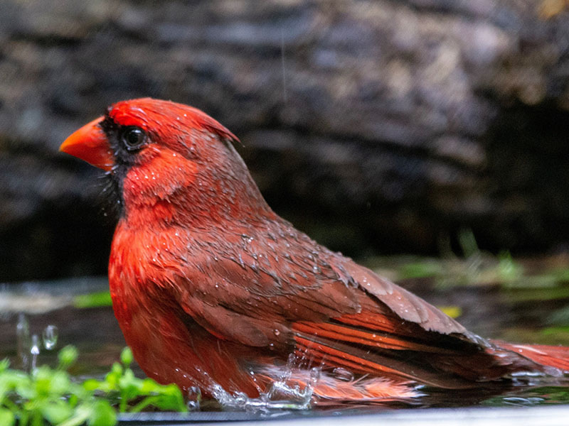Northern Cardinal by Jackie Farrell at Lafitte's Cove Nature Preserve