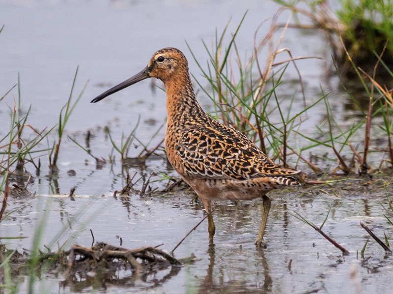 Short Billed Dowitcher by Jackie Farrell at 8 Mile Road