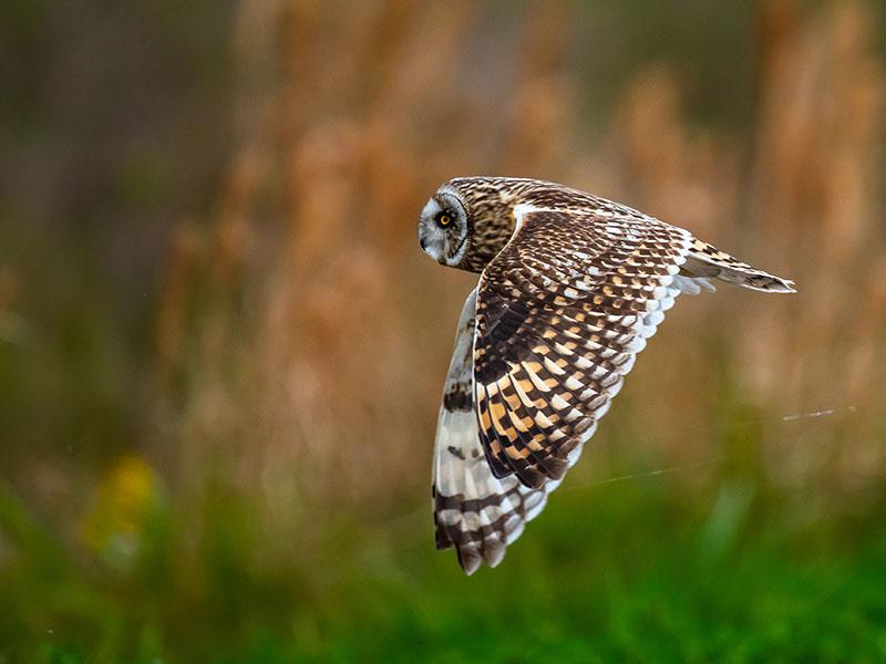 Short Eared Owl by Rob Heifner