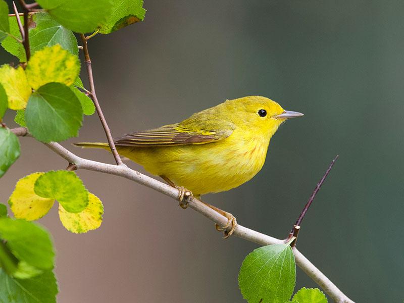Yellow Warbler by Dan Lotan