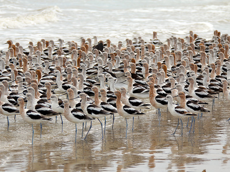 American Avocet by Amy Nolan at Bolivar Peninsula - Feather Fest 2019 Week 4 Honorable Mention