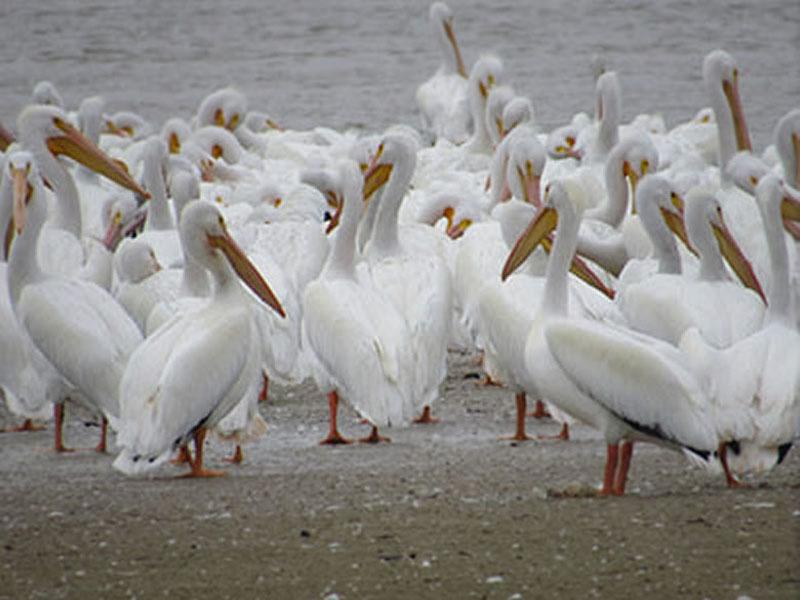American White Pelican by Kristine River