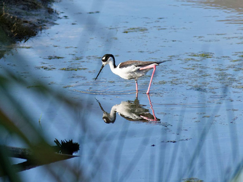 Black-necked Stilt by Mary Halligan at Lafittes Cove
