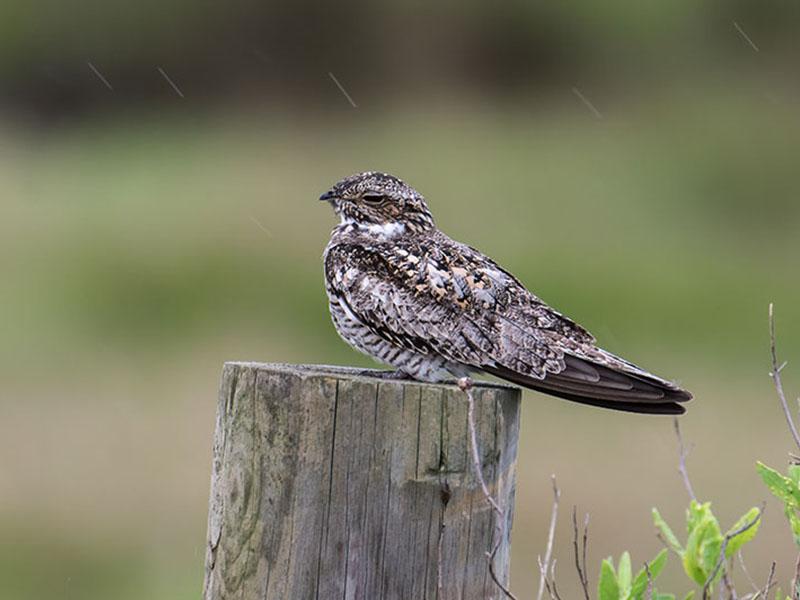 Common Nighthawk by Mike Zarella