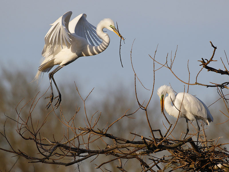 Great Egrets Nesting by Andrew McCullough