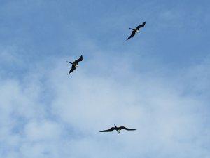 Magnificent_Frigatebirds Soaring