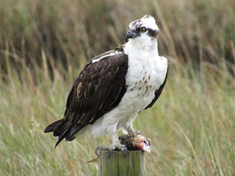 Osprey by Kristine Rivers on Galveston Island