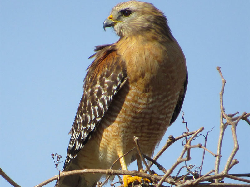 Red-shouldered Hawk by Kristine Rivers