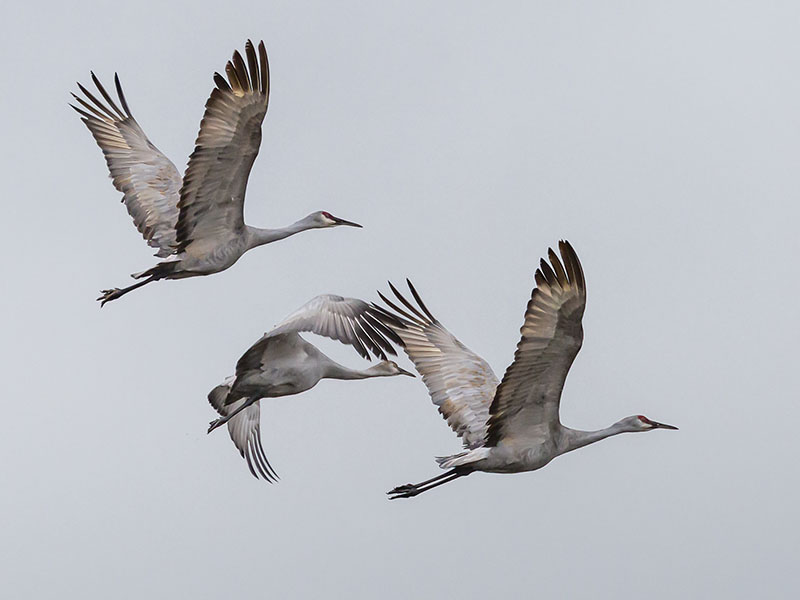Sandhill Cranes in Flight by Bethany Tiner