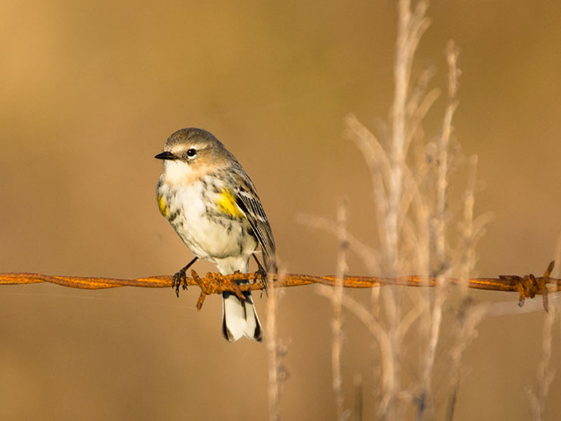 Yellow-rumped Warbler by Barry Hatch