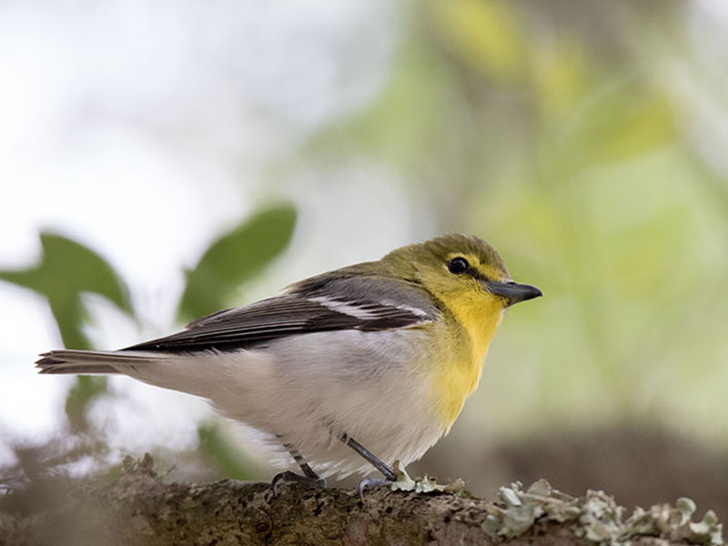 Yellow-throated Vireo by Kathy Williams