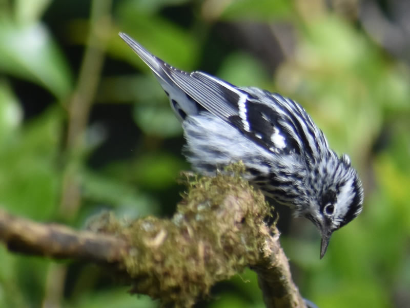 Black-and-white Warbler by Mary Halligan