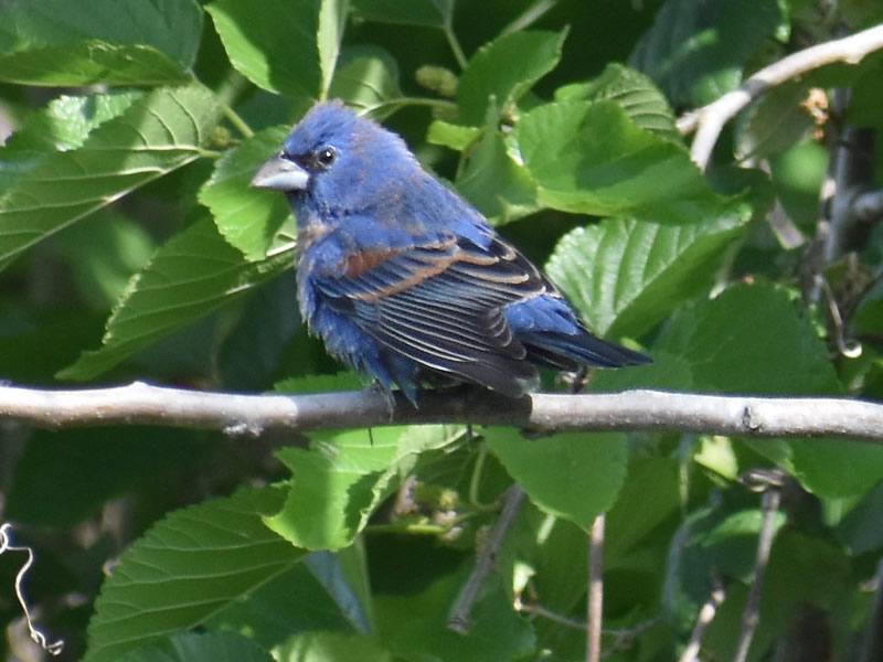 Blue Grosbeak by Mary Halligan