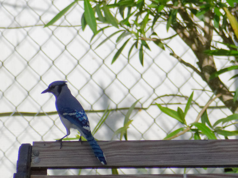 Blue Jay by Mary Halligan