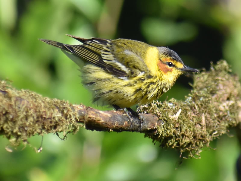 Cape May Warbler by Mary Halligan