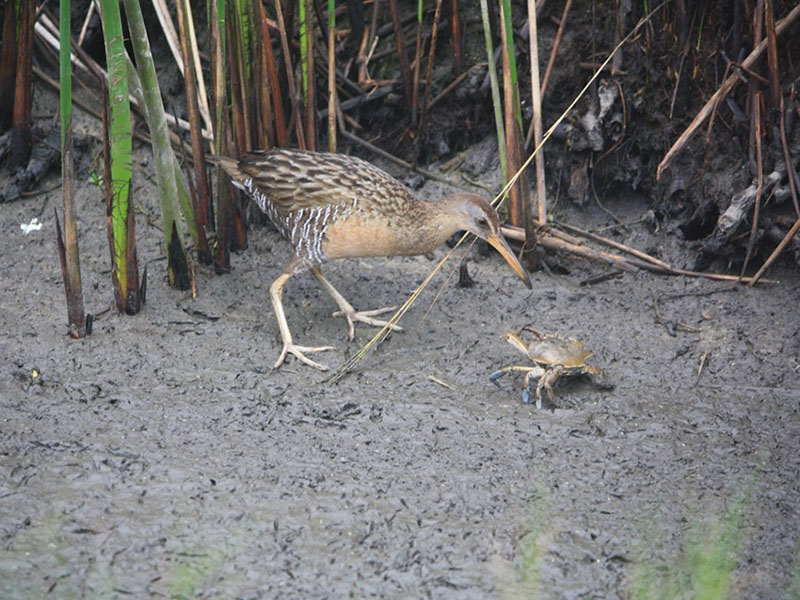 Clapper Rail and Sand Crab by Rosalind Richard