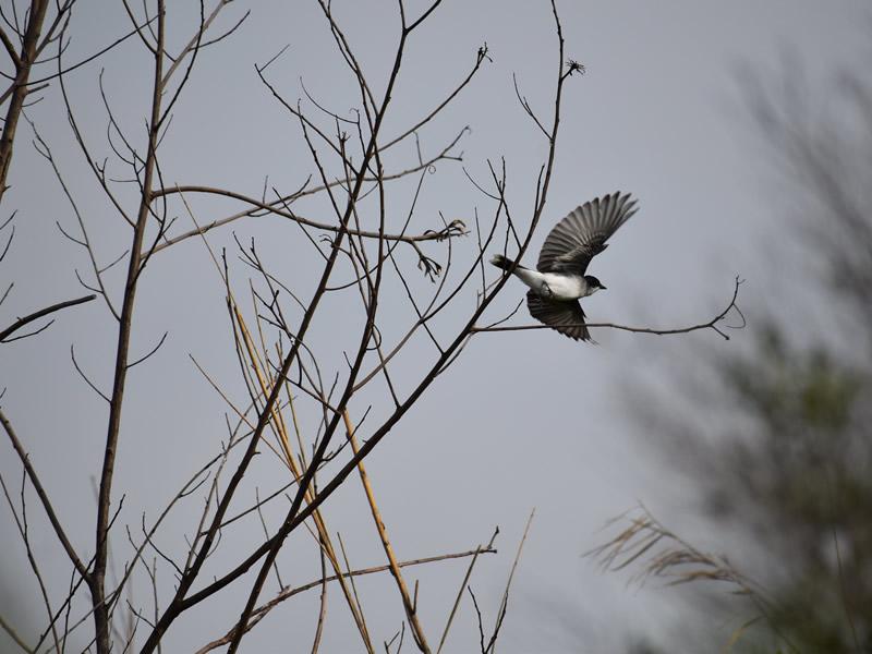 Eastern Kingbird by Mary Halligan