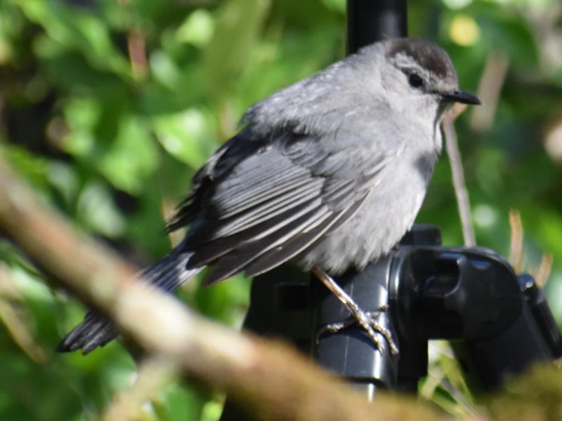 Gray Catbird by Mary Halligan