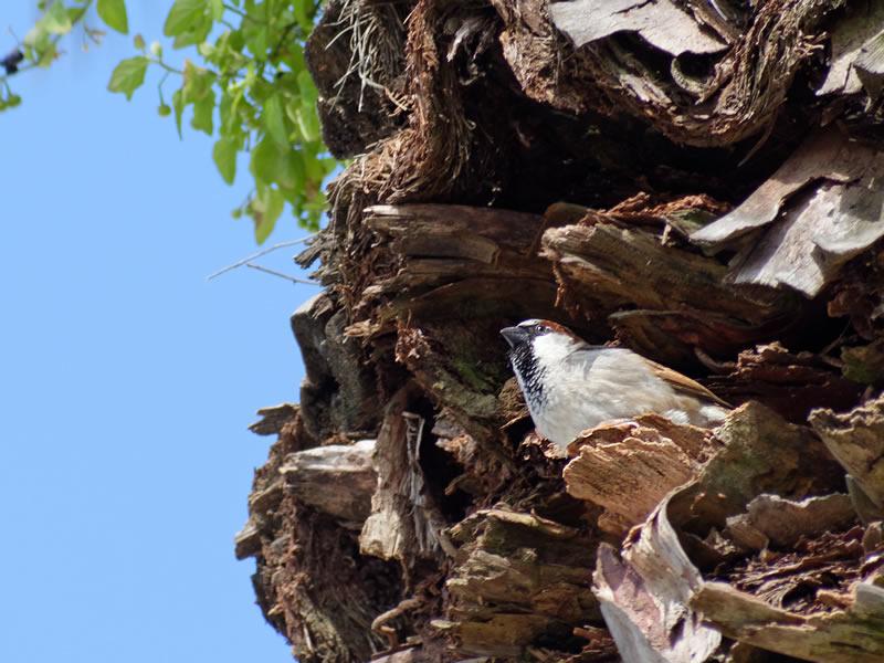 House Sparrow by Mary Halligan