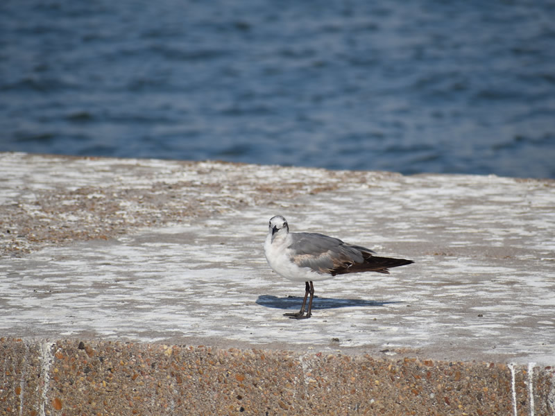 Laughing Gull by Mary Halligan
