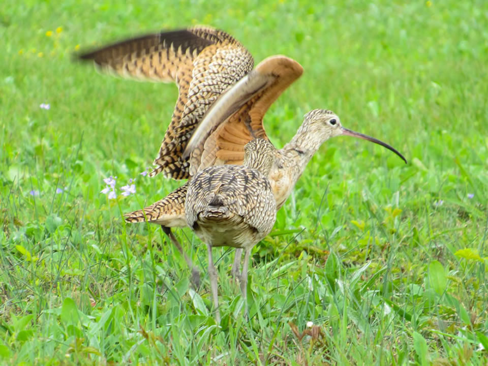 Long-billed Curlews photo by Kristine Rivers, Galveston, 3/16/19
