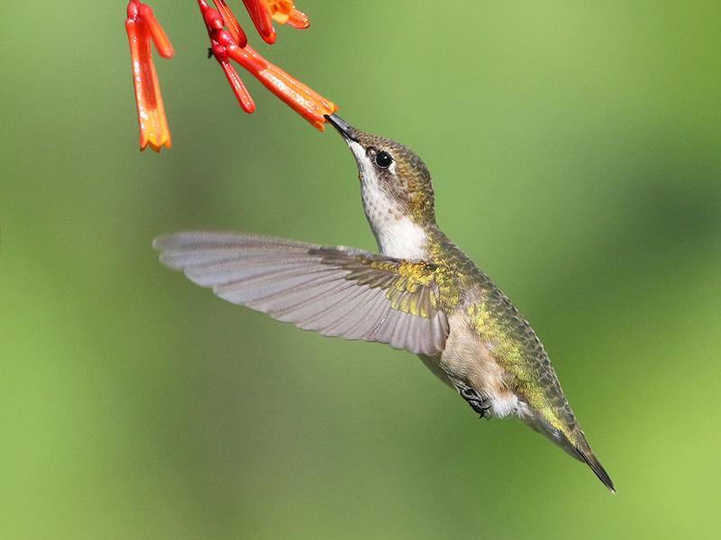 Ruby-throated Hummingbird by Dan Lotan