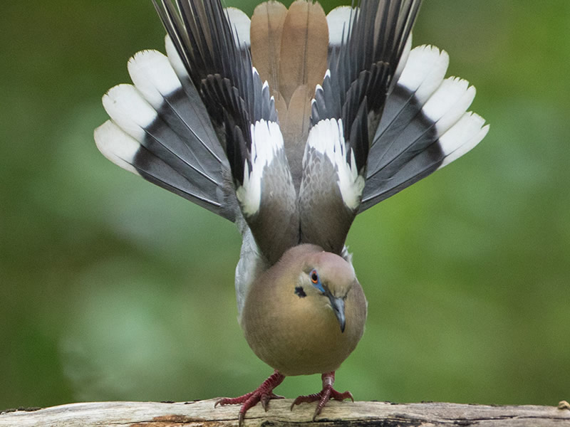 White-winged Dove by Mike Madding