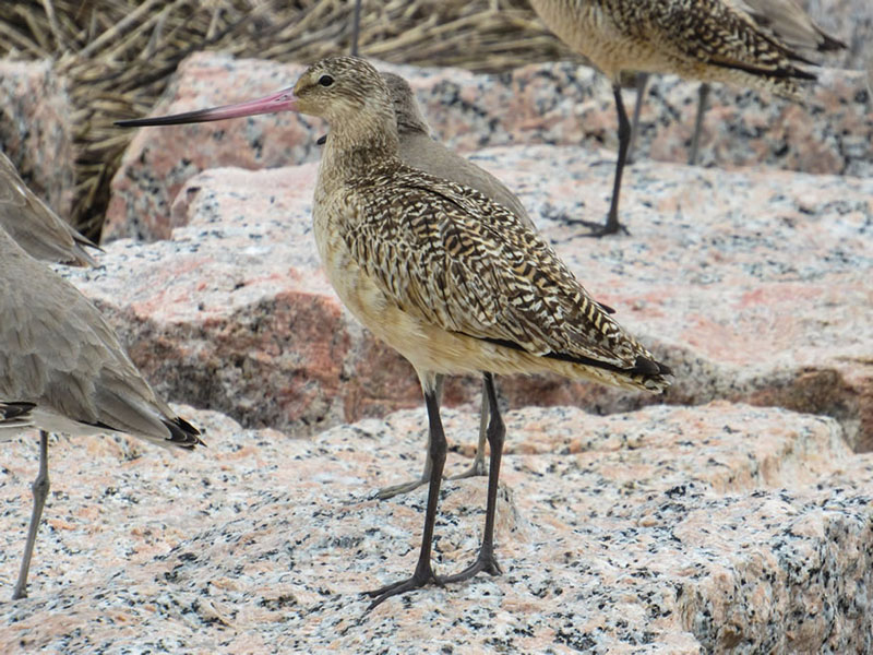 Marbled Godwit by Kristine Rivers
