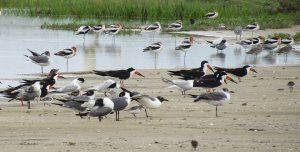 Mixed Flock of Shorebirds
