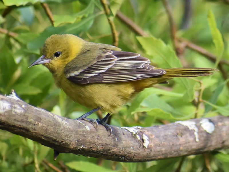 Orchard Oriole by Mary Halligan