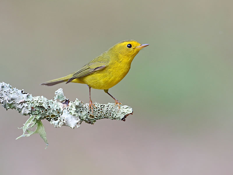 Wilson's Warbler by Anthony Louviere