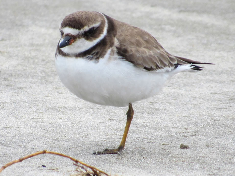 Semipalmated_Plover