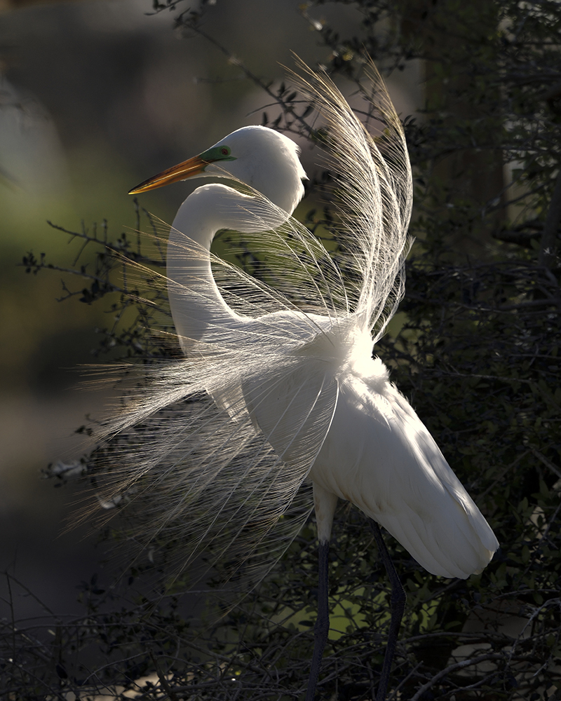 Displaying Great Egret by Joseph Smith