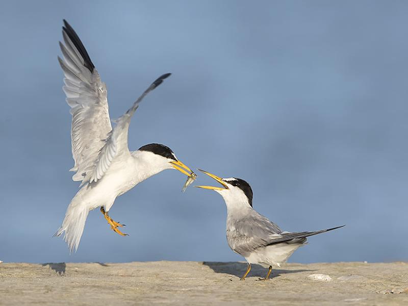 Least Terns by Susan Ellison