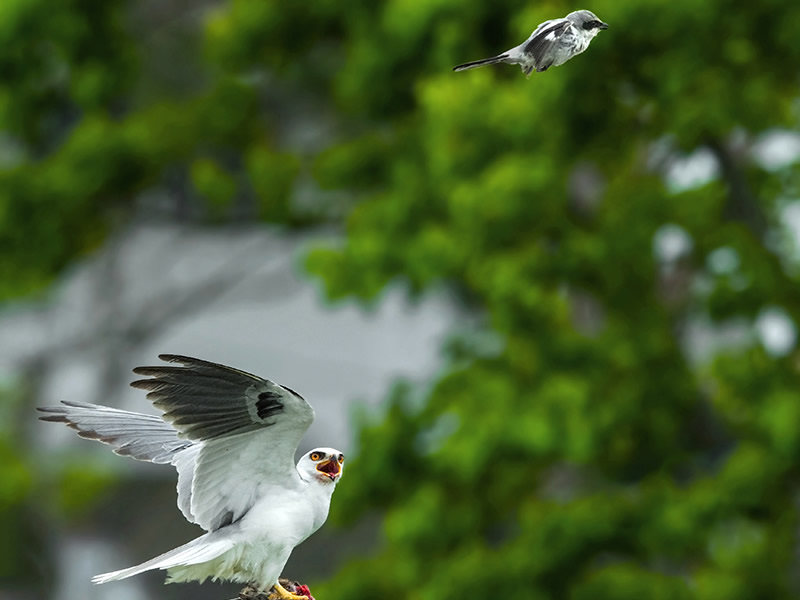 White-tailed Kite by Cissy Beasley