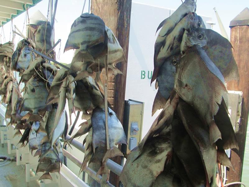 New Buccaneer Fish Catch