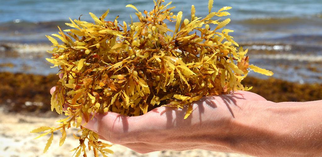 Sargassum (Seaweed)