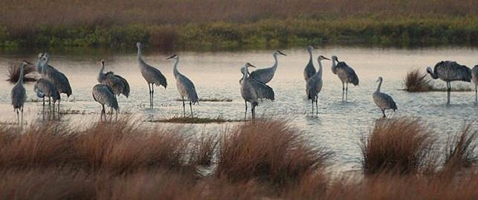 Sandhill Cranes photo by Barbara Rabek