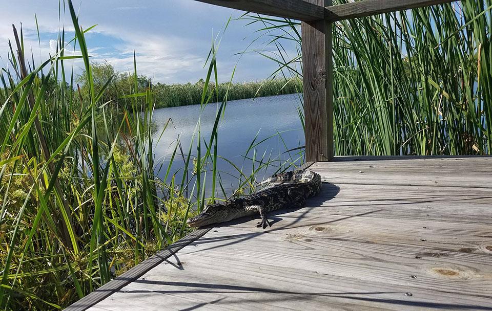 Alligator at State Park