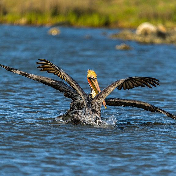 Brown Pelicans in Water